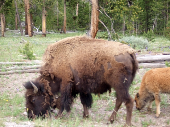 Bison are frequently spotted along roadsides in certain areas.